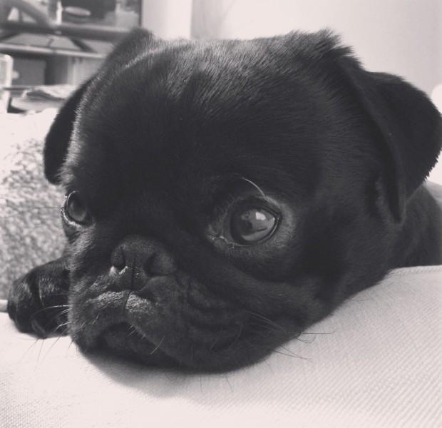 bugsy-pug